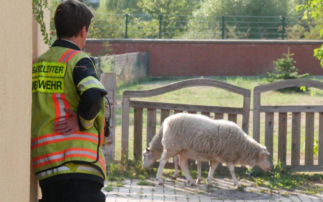 Schafe eingefangen